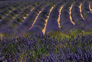 champs de lavandes France