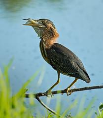 Green heron swallows fish _2263 (bradtort) Tags: greenheron forestpark stlouis missouri usa urban feeding fish