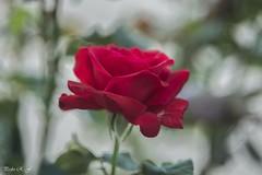 Efecto Bokeh (pedroramfra91) Tags: naturaleza nature primavera spring rosa rose rojo red bokeh
