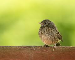 Dunnock Fledgling (.Hogan.) Tags: 300mmf4 birds dumfriesgalloway dunnock sandyhills scotland avian bird birding d500 fledgling nature nikon uk wild wildlife