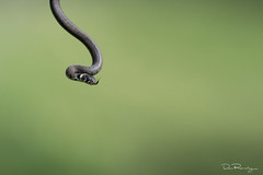 Hanging About (DanRansley) Tags: britain danransleyphotography england grasssnake natrixnatrix uk westsussex animal nature reptile snake wildlife