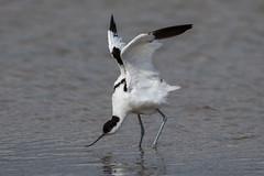 Avocet (Simon Stobart) Tags: avocet recurvirostra avosetta water stretching wings out northeast england ngc npc