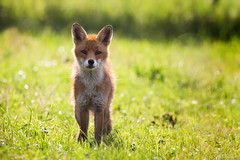 Jeune renard (michelgasser) Tags: renard fox wildlife nature vie sauvage 70d 100400mm billebaude canon vsfc
