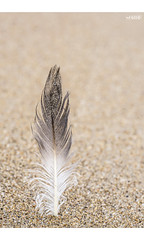 Solo (red stilletto) Tags: oceangrove oceangrovebeach bellarinepeninsula beach sea ocean oceanbeach feather sand