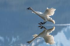 Touchdown (Tim Melling) Tags: cygnus buccinator trumpeter swan alaska timmelling