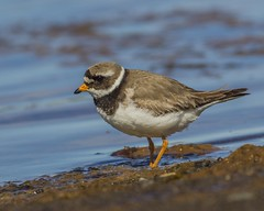 Ringed Plover   -  Sandlóa (ingolfssonvalur) Tags: sandlóa charadriushiaticula ringedplover bird birds iceland wildlife