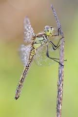 Sympetrum vulgatum ♀ (Prajzner) Tags: sympetrumvulgatum macro nikond7100 novoflexcastelxqii nature manfrotto manfrottomt190xpro3 sigma105mmmacro naturallight focusstacking dragonfly odonata anisoptera