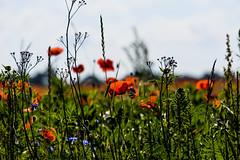 17-07-02 nah mohn blü rot gras dsc07930 (u ki11 ulrich kracke) Tags: blüterot blütenmeer gras kornblume mecklenburgvorpommern mohn nah 7dwf macro