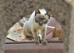 Peek A Boo (tcees) Tags: street tarajalejo fuerteventura streetphotography cat siamesecat stray nikon d5200 1855mm hole urban calleisidrodíaz canaries canaryislands wall