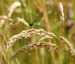 Female Banded Demoiselle (Lancashire Lass :) :) :)) Tags: damselfly malebandeddemoiselle grass countryside nature july summer riverside bokeh femalebandeddemoiselle