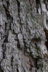 Skin (Bloui) Tags: 2017 botanicalgarden eos7d jardinbotanique arboretum july montréal québec macro macromondays texture memberschoicetexture bark tree