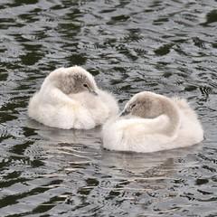 Snuggling cygnets (MJ Harbey) Tags: cygnets cygnet bird wildbird swan lake waterbird muteswan nationaltrust wimpoleestate water