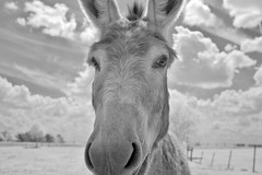 Donkey IR (Neal3K) Tags: morgancounty georgia ga farmland rural donkeys ir infraredcamera kolarivisionmodifiedcamera bw blackandwhite clouds