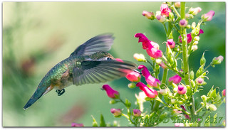 Calling all hummingbirds, Red birds in a tree!
