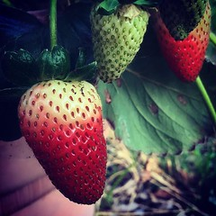 Almost ready... 🍓🍓🍓 Strawberries in the container garden this evening. #strawberry #strawberries #food #fruit #garden #grow #growing #red #green (dewelch) Tags: ifttt instagram almost ready 🍓🍓🍓 strawberries container garden this evening strawberry food fruit grow growing red green