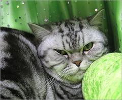 'Marble'  ....  with the green eyes. (Mary Faith.) Tags: kitten green eyes marble feline