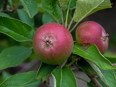 "In Schwesterleins Garten, ""Äpfel"" (joergpeterjunk) Tags: garten outdoor pflanze baum apfelbaum obst apfel canonpowershota620"
