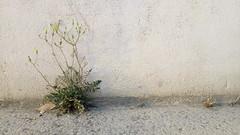 immer an der Wand entlang und schön gelb strahlen (raumoberbayern) Tags: weis white gelb yellow flower blume wand wall frankreich france robbbilder abstract minimal