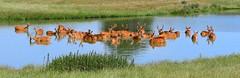 Basaningha/Swamp deer (gillybooze) Tags: ©allrightsreserved animal deer basaninghadeer water lake panarama grass outdoor reflections wild wildlife