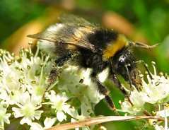 Bombus Terrestris?! ('cosmicgirl1960' NEW CANON CAMERA) Tags: insects bee bees bugs buzz flowers pollen sacs stripy nature honey tobyspoint devon yabbadabbadoo