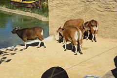 Chester Zoo Islands (153) (rs1979) Tags: chesterzoo zoo chester islands banteng