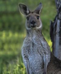 Just checking you out... (ChrisKirbyCapturePhotography) Tags: kangaroo roo australia australliananimal marsupial chriskirbycapturephotography