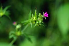 Loving kindness .... (ej - photography) Tags: macro makro flower blume purple nature natur olympus omd em5markii mzuiko schweiz suisse svizzera switzerland 2017 juni june summer sommer green bokeh m60mmf28 outdoor
