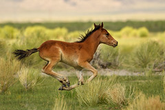 Wild and free (Marc Briggs) Tags: dsc12281aw wildhorses wild horse foal wildlife wildhorse run running