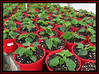 Getting Re(a)dy for Christmas 2 (M E For Bees (Was Margaret Edge The Bee Girl)) Tags: poinsettias red pots plants growing glasshouse compost indoors