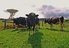 Stare Off (jimjiraffe*) Tags: cows bulls paddock farm rural warkworth radio telescope satelitestation stare off canon eos1000d aucklandregion geosat earthsat jimjiraffe tokina1224