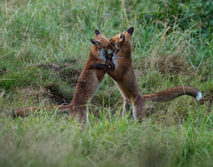 young foxes (Tim Gardner pics) Tags: