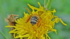 Bee bum (donnasmith13) Tags: bee flower yellow insect bum bug animal macro garden