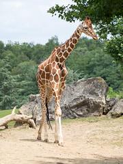 photo-10.jpg (maranwe84) Tags: beauval zoobeauval zoo girafe