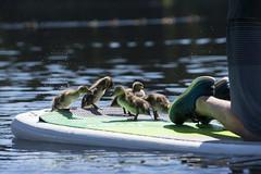 Ducklings splashing (spollock61) Tags: trilliumlake duckilngs oregon paddleboarding lake nikon summer beauty ngc