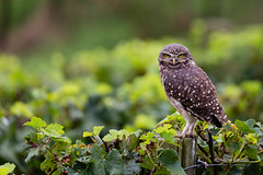 Somewhere in a vineyard (Thelma Gatuzzo) Tags: buho thelmagatuzzo chouettedesterriers riograndedosul owl oiseaux nature ave thelmagatuzzo© kaninchenkauz lechucitavizcachera vinhedo burrowingowl lechucitadecampo voegel brasil wildlife lechucitapampa 2017 thelmagatuzzophotography© bentogonçalves steenuil silvestre raptor chevêche des terriers coruja litteowl fauna athenecunicularia corujaburaqueira athene cunicularia chevêchedesterriers