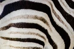 Amnéville (lesougn) Tags: zoo amnéville spectacle tigerworld parc zoologique animaux fauves vivarium espèces gorille domptage tigre aquarium moselle france ara zèbres girafes lions jungle gorillascamp orangoutan nikon nikkor d7000 18200