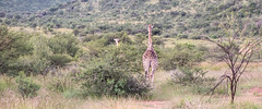 Giraffes in the bush,  Pilanesberg (Knud Hald) Tags: 2017 africa birdwatcher entabeni fuji fujixt10withfujinonxf1855mmf284rlmois fujinonxf1855mmf284rlmois honeyuiderangerscamp knudhald limpopo outdoor pilanesberg pilanesbergsouthafrica2017 safari southafrica wildlife ngc albatrostravel giraffe fauna beautiful nature naturelover nationalgeographicsociety 500v20fav animal wildanimals animalwarior animaladdiction mammal fujix