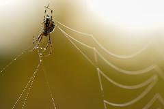 Entwined in pearl strands ((Ruud) Reddingius) Tags: spin spider dew dauw veluwe heide heathland