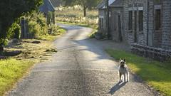 Soir d'été #2 (Leskat•) Tags: firefox terrier fox wirefoxterrier wirefox wirehairedfoxterrier mydog campagne eveninglights