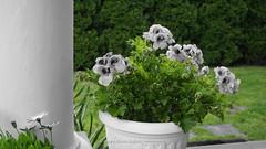 DSC00628 (Aldona Induła) Tags: hoyafilters sony a6000 bezedycji flower garden kwiat notedited ogród prostozaparatu straightfromthecamera