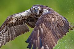 You looking at me? (coopsphotomad) Tags: osprey spray bokeh nature wildlife animal fishing eyes scotland highlands raptor avian canon