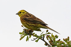 Yellowhammer (m) (Roy Lowry) Tags: gianthill cerneabbas yellowhammer emberizacitrinella yellowbunting