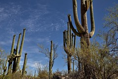 Looking Up to Skies Above with Nearby Saguaro Cactus (Saguaro National Park) (thor_mark ) Tags: nikond800e day3 saguaronationalpark saguaronationalparktucsonmountaindistrictwest lookingnorth desert desertlandscape sonorandesert desertplantlife outside nature saguaro cactus carnegieagigantea saguarocactus arborescenttreelikecactus cactusacrossdesertlandscape landscape capturenx2edited colorefexpro hikealongvalleyviewoverlooktrail project365 portfolio cactusflowers topofsaguarocactus lookingup lookingupatsky lookingupatskythroughsagaurocactus lookinguptosky bajadawashtrail arizona unitedstates