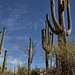 Looking Up to Skies Above with Nearby Saguaro Cactus (Saguaro National Park)