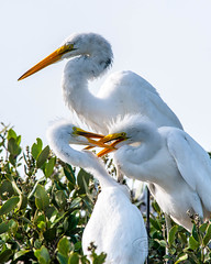Battle for Feeding Position - Great Egret Adult and Chicks - Indian River - New Smyrna Beach, Fl (mark bochiardy images) Tags: battle for feeding position great egret adult chicks indian river new smyrna beach florida