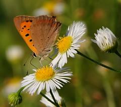 estate... (andrea.zanaboni) Tags: farfalla butterfly nikon macro colori colors sfumature fiori flowers estate summer