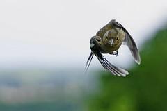 Pinson_A652104_DxO (jackez2010) Tags: ilce6500 sonyfe70200mmf4goss bif birdinflight pinsondesarbres