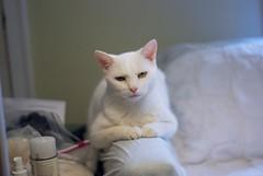 """""""We need to talk."""" (rootcrop54) Tags: charlie white allwhite male cat expressions paws neko macska kedi 猫 kočka kissa γάτα köttur kucing gatto 고양이 kaķis katė katt katze katzen kot кошка mačka maček kitteh chat ネコ explore explored"""