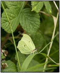 Male Brimstone (jonathancoombes) Tags: butterfly green brimstone male insect fly wildlife nature pennington