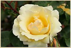 butter cream...like icing on a cake! (MEA Images) Tags: roses flowers gardens blooms flora nature parks pointdefiancepark rosegarden tacoma washington canon picmonkey